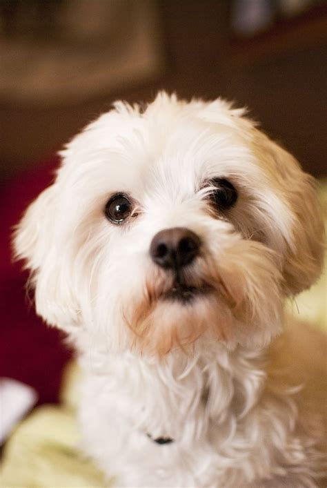 ruffles my maltese bichon mix for the home