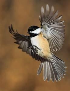 flying chickadee - Google Search   birds   Pinterest ...