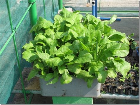 Growing Spinach In Containers  Urban Gardening, Terrace