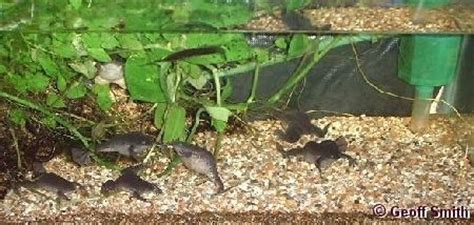 the clawed frog gallery