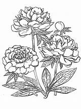 Coloring Peony Flower Flowers Printable Line Colouring Drawing Plant Rose Peonies Sketch Mycoloring Patterns Divergent Mandala Pattern Template Getcolorings Embroidery sketch template