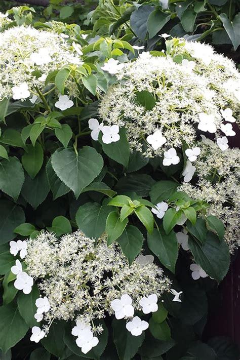 Buy Climbing Hydrangea Petiolaris For Sale Online From
