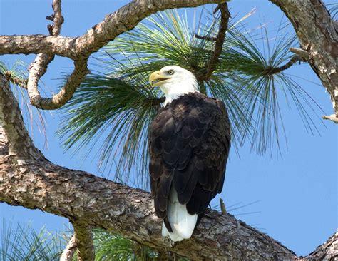 bald eagle close up naturetime