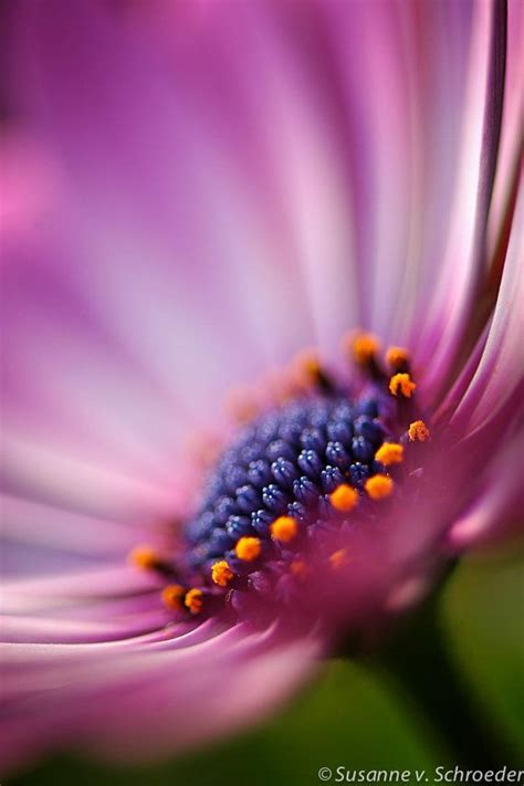 nature photography african daisy flower lavender pink