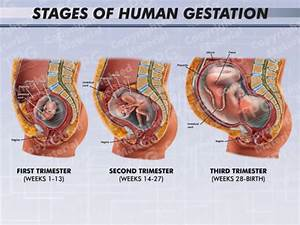 Fetus Archives - Medical Legal Illustrations - Animations