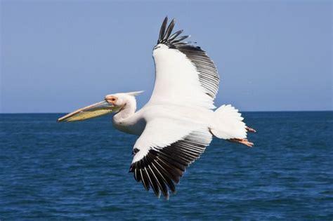 le de poche pelican animaux oiseaux le hibou grand duc condor hirondelle p 233 lican