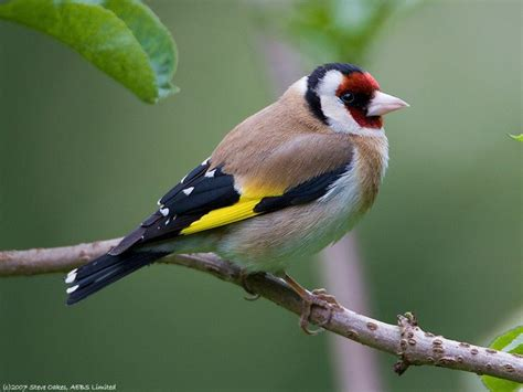 33 best images about european goldfinch reference on