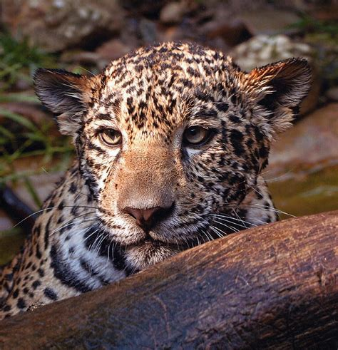 jaguars view experience akron zoo big cats
