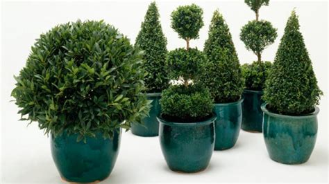 homelife plant guide christmas trees