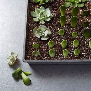 Propagating Succulents: 1 Plant, Hundreds of Babies