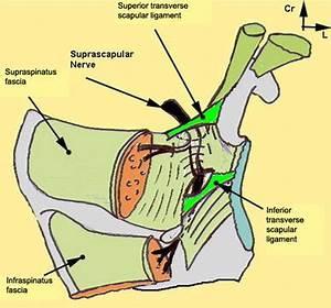 Anatomical Basis Of The Suprascapular Nerve Entrapment