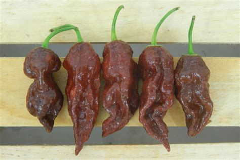chocolate bhut jolokia pepper seeds farmer seeds