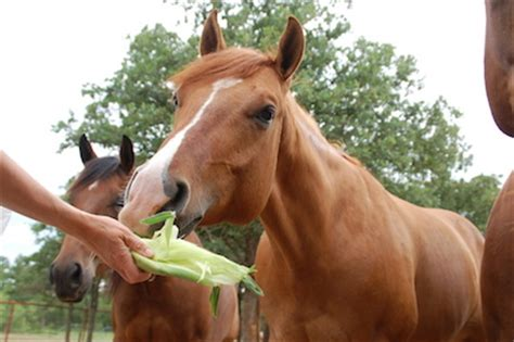 what do horses eat what strange foods does your horse eat corn watermelon monster energy drinks hartzlerdm testing