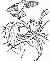 Hummingbird Coloring Pages Young Feeds Their Printable Juniors Feed Play Colouring Baby Birds Hummingbirds Bird Sheets Colors Drawing sketch template