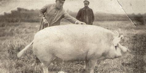 Zilā govs, bekona cūka un Latgales rikšotājs - kādas ir Latvijā radītās dzīvnieku šķirnes - DELFI