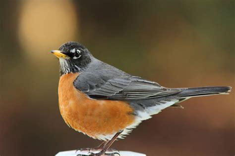 american robin song of america birdseed