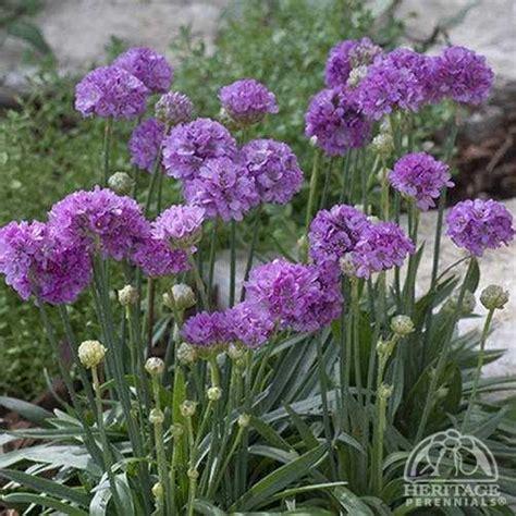 thrift plant plant profile for armeria pseudarmeria ballerina lilac false sea thrift perennial