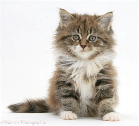 maine coon kitten  large images