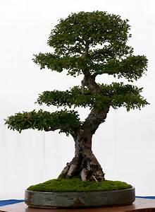 Bonsai Arten Für Anfänger : die zehn besten outdoor bonsai f r einsteiger ~ Sanjose-hotels-ca.com Haus und Dekorationen