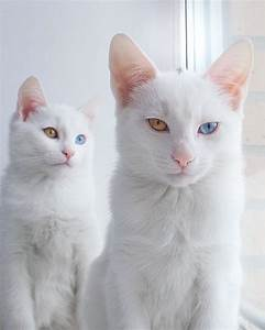 The World's Most Beautiful Twin Cats - Iriss and Abyss ...