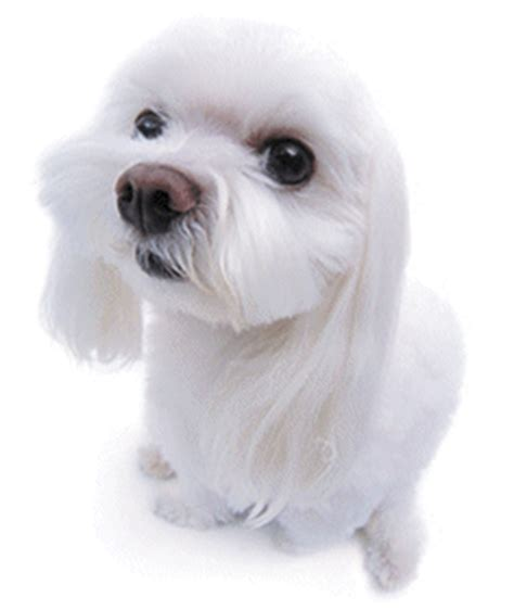 maltese dogs animated images gifs pictures animations