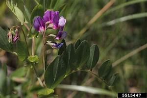 Beach Pea  Lathyrus Japonicus  Fabales  Fabaceae