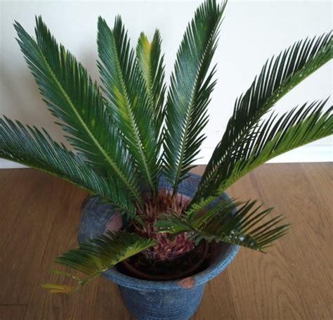 Wie Heißt Meine Zimmerpflanze by Palmen Bilder Zimmerpflanzen Zimmerpflanzen In Karlsruhe