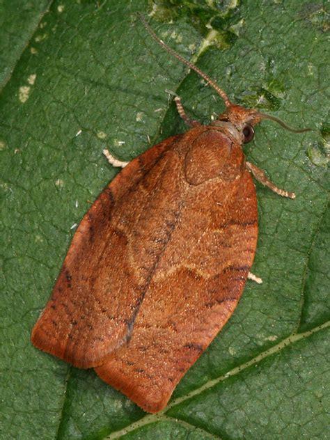 http://www.european-lepidopteres.fr/Pandemis-heparana.html