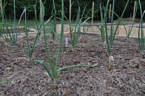 mulching your garden mulching your vegetables homegrown healthy
