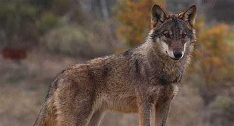 la desaparicion del lobo iberico de sierra morena
