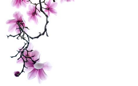 White Flower Background Pink Flower White Backgrounds Wallpaper Cave