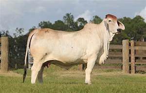 Follow the Brahman Cattle Industry on Social Media