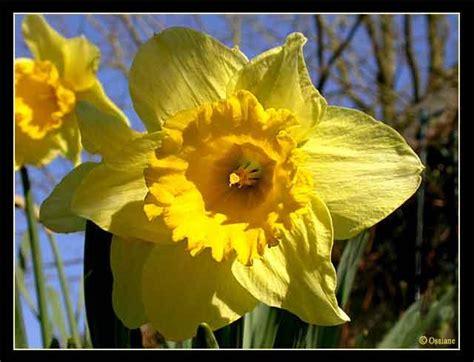 printemps si e social quizz des fleurs jaunes quiz fleurs plantes nature