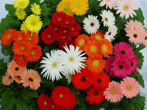gerbera daisies romantic flowers gerbera daisy flower