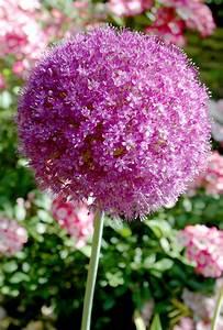 Planter Ail Rose : allium semer ou planter ooreka ~ Nature-et-papiers.com Idées de Décoration