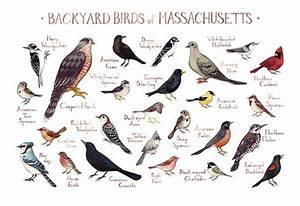 Bird Identifier Chart Massachusetts Backyard Birds Field Guide Art Print