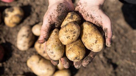 kartoffeln pflanzen das muessen sie beachten