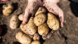 Was Müssen Sie Hier Beachten : kartoffeln pflanzen das m ssen sie beachten ~ Orissabook.com Haus und Dekorationen