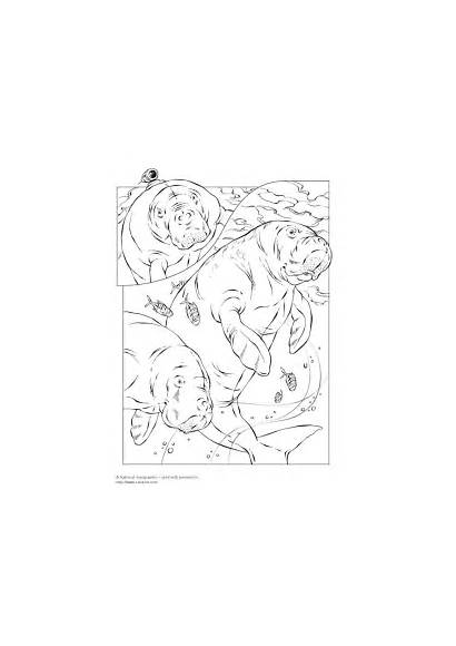 Manatee Coloring Pages Geographic National Dugong Animals