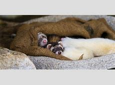 Cute sleeping ferret babies There were young ferrets and