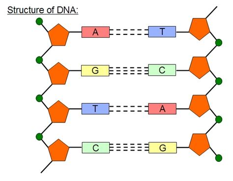 colten 39 s blog dna structure