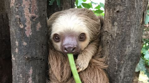 Best Place To See Sloths In Costa Rica Diamante Eco