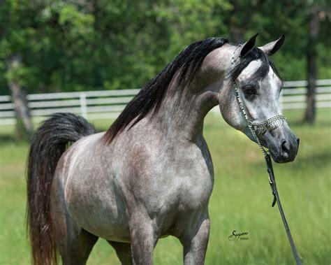 arabian egyptian grey lda straight magidaa horses arabians filly horse illa arab stallion mare karimah mares mishaal hp breeders champion