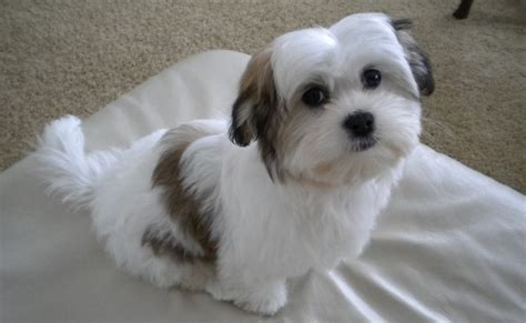 cavachon dog breed standards