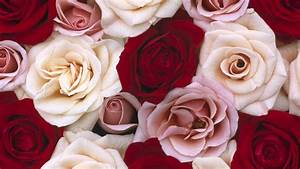 Red and white roses Wallpapers - 1920x1080 - 412865