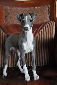Best 25+ Italian greyhound ideas on Pinterest | Italian ...