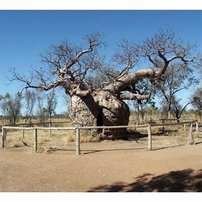 Adansonia Gregorii Seeds (Australian Baobab Seeds)