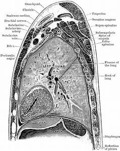 Sagittal Section Through Shoulder And Lung