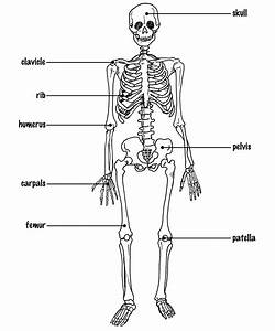 Labeled Human Skeletal System Photos  The Human Skeleton With Labels