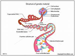 Structure Of Genetic Material Illustrations